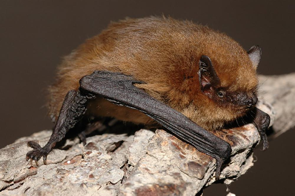 The Wild Side Of Jersey - Pipistrelle Bat