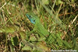The Wild Side Of Jersey - Green Lizard