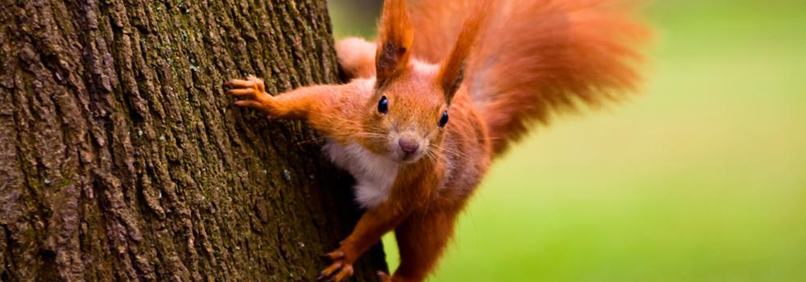 Red squirrel Jersey
