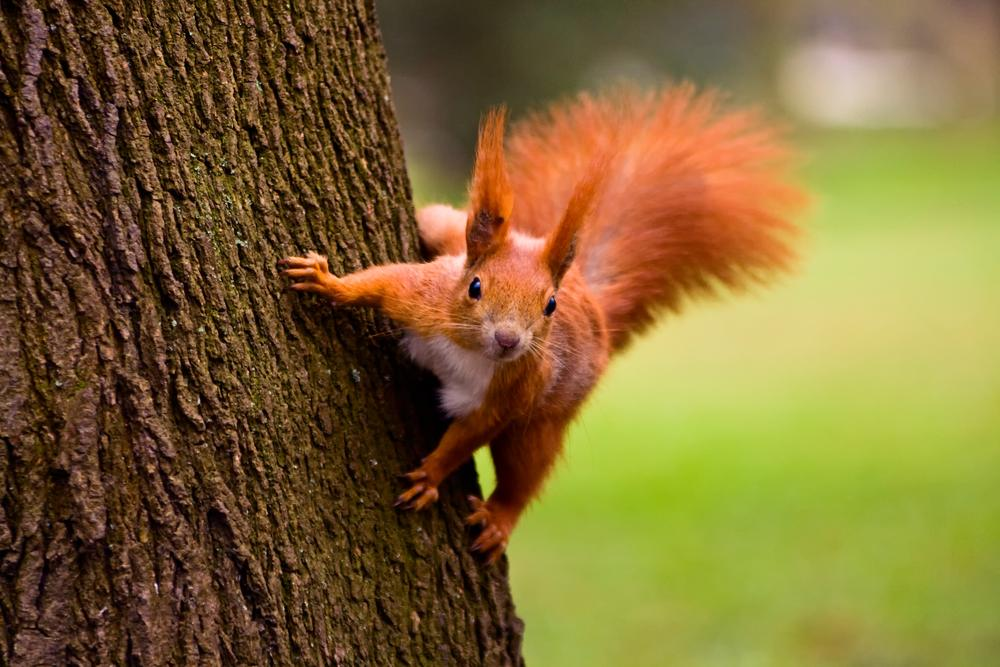 The Wild Side Of Jersey - Red Squirrell