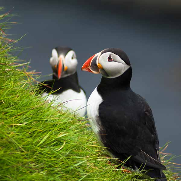 Atlantic-Puffin