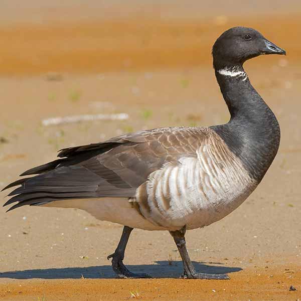 Brent-goose