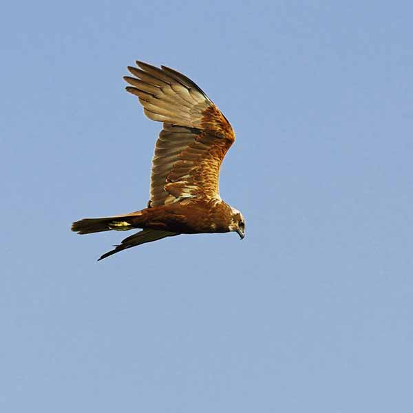 Eurasian-marsh-harrier