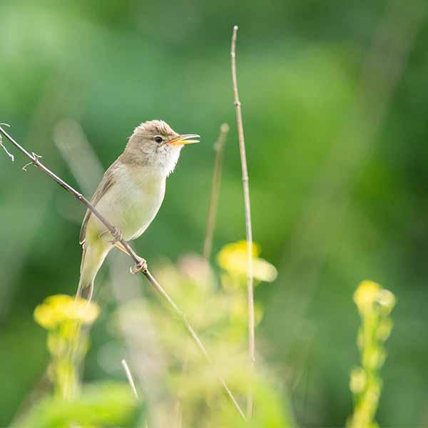 Eurasian-reed-warbler
