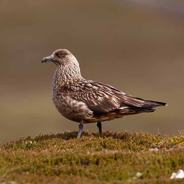 Great-skua